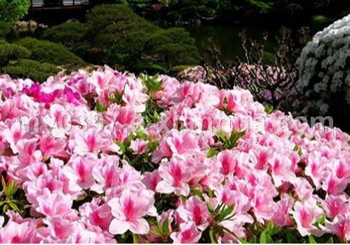 杜鹃花、剑麻、棣棠、红王子锦带、春鹃、连翘、十大功劳球、迎春