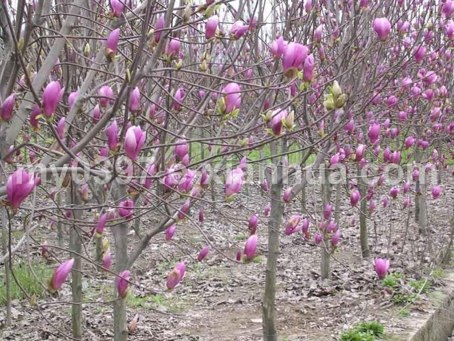 红玉兰、木瓜、法桐、西府海棠、白蜡、杨梅、重阳木、黄山栾树