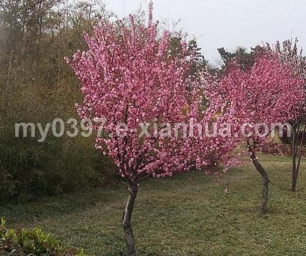 红梅、广玉兰、红枫、辛夷、鸡爪槭、紫玉兰、千头椿、黄玉兰