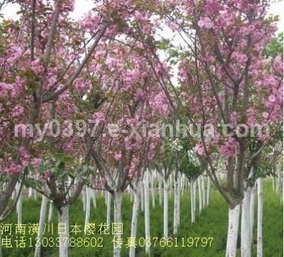 日本樱花、腊梅、果石榴、梅花、丝棉木、月月桂、丹桂、潢川金桂